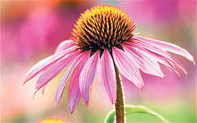 echinacea for lyme