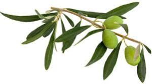 olive-leaf-lyme-disease